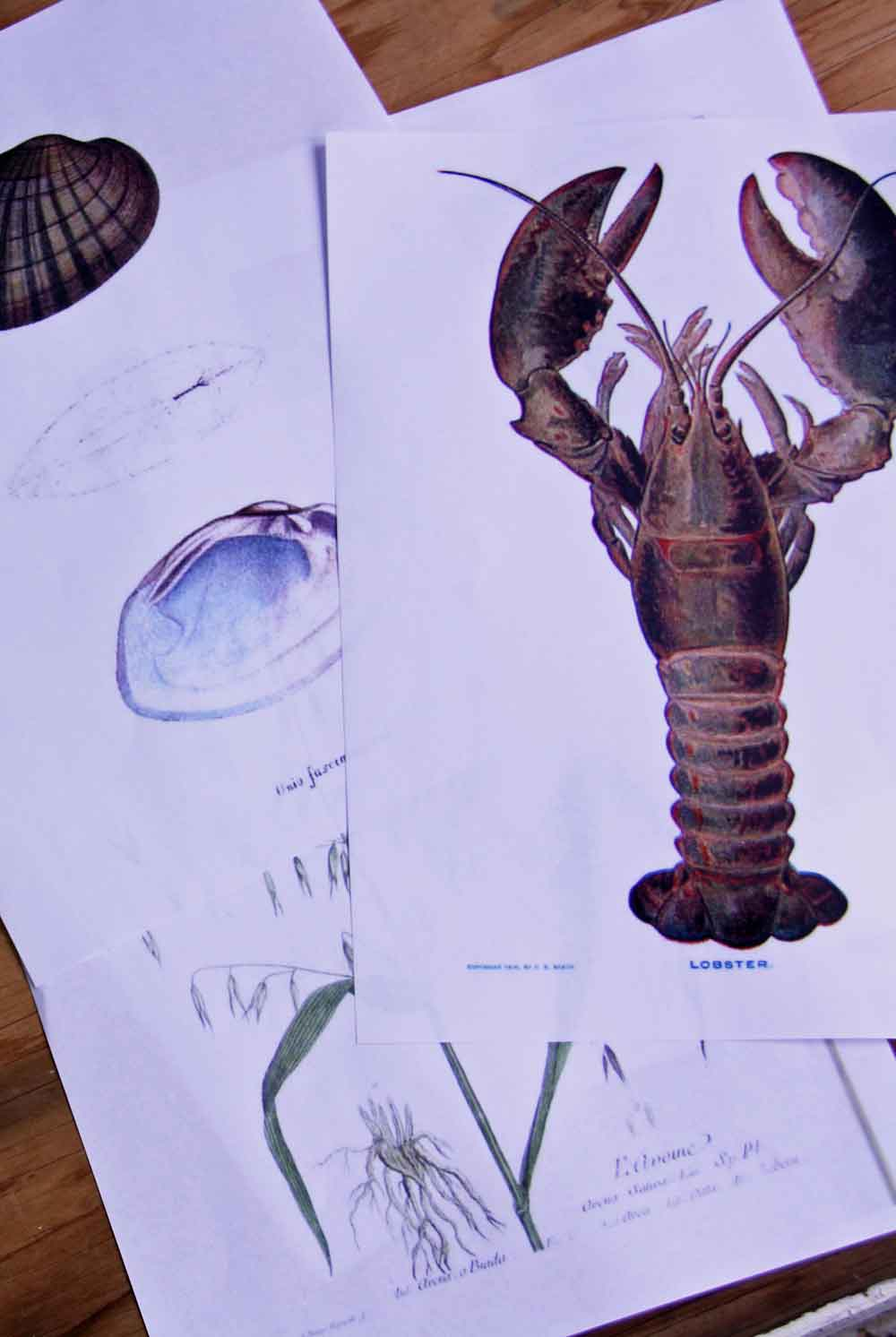 Vintage lobster scientific print | redleafstyle.com