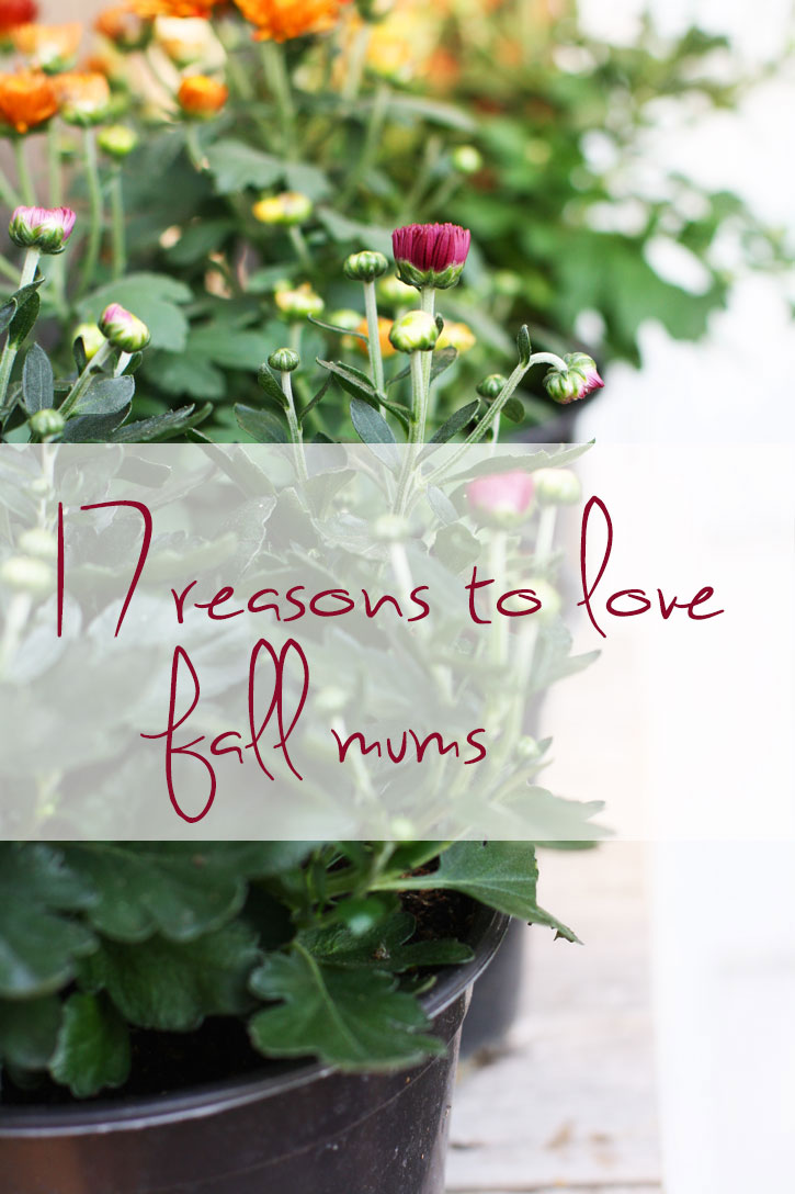 17 Reasons to Love Fall Mums | redleafstyle.com